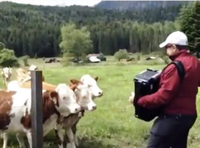 Source: Grazing cows rush to listen to accordion music by
