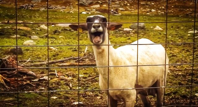 Затова положително реагиралите за бруцелоза дребни преживни животни подлежат на