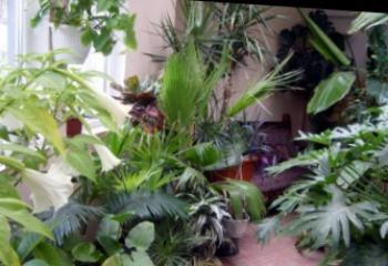 Растения за дома, виреещи и на тъмно В дома се