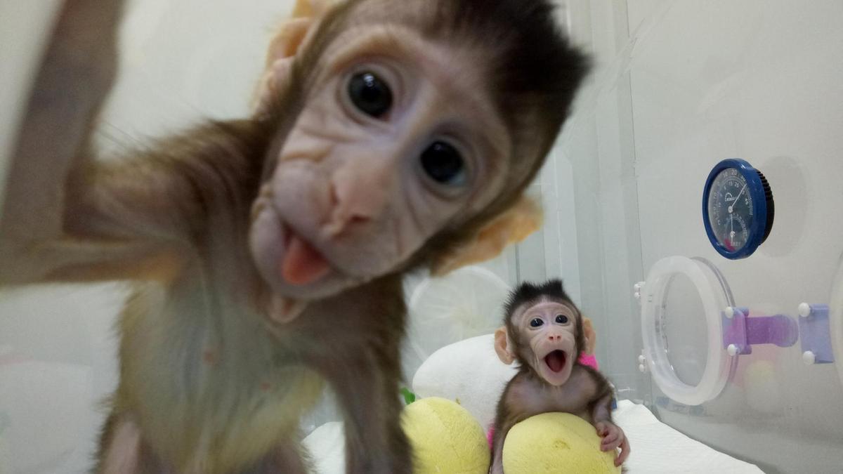 Неговите фибробласти са използвани, за да бъдат клонирани пет маймуни.