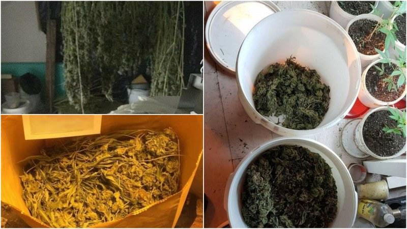 Столични полицаи разбиха домашнаоранжерия за марихуана, при провеждането