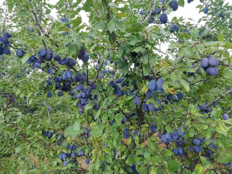 Стопанин на овощна градина в село Бръшляница e