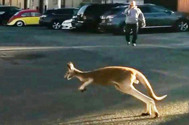 Хора подават сигнал, че са забелязали кенгуруто в близката гора.